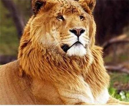 라이거는 사자보다 1.5배나 무거운 크고 아름다운 존재다.