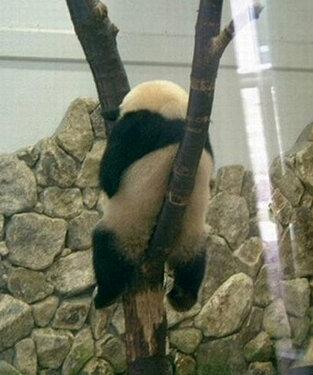 고개를 숙인 팬더.