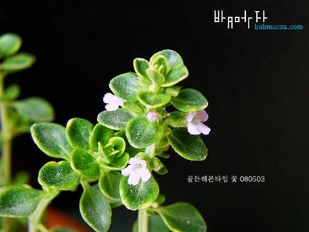 [꽃이랑 연애하기] 2. 아름다워서 슬픈 첫사랑을 닮은 꽃과 연애해 보자 <골든레몬타임>