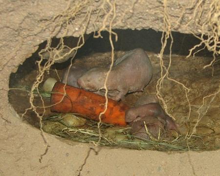 벌거숭이두더지쥐 (출처: Wikimedia Commons).