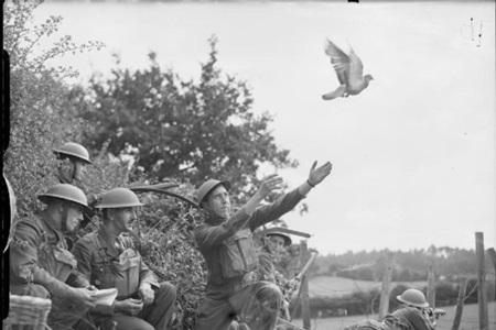 전서 비둘기 이야기: 비둘기, 전쟁 훈장을 받다