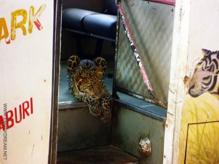 태국의 버스에 타고 있는 표범