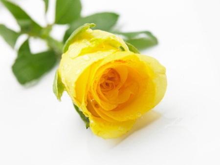 노란 장미의 꽃말은 질투, 성취, 이별 등이 있다.