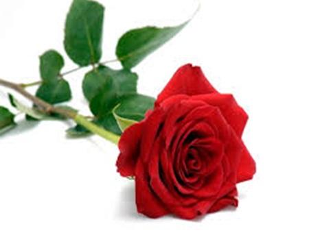 붉은 장미의 꽃말은 열정, 욕망, 기쁨, 절정 등이 있다.