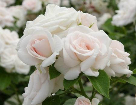 흰 장미의 꽃말은 존경, 순결, 순진, 매력 등이 있다.