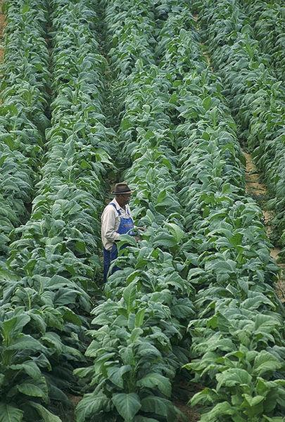농장에서 재배 중인 N. tabacum출처 : USDA, public domain