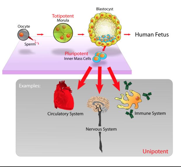 출처 : 위키피디아 (stem cell 치고 구글 이미지 검색하면 일빠로 나오는 그림)