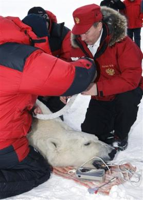 Russian Prime Minister Putin assists in polar bear research during his visit to Alexandra Land