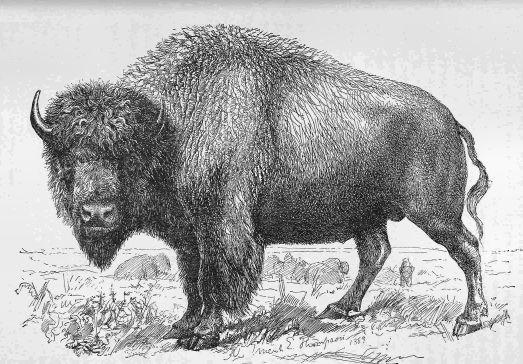 Bull_Buffalo_-_Project_Gutenberg_eText_17748