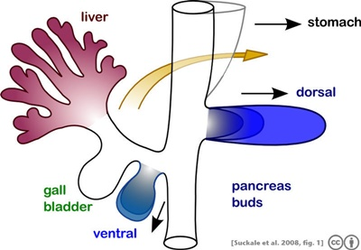 췌장의 발생 (출처 : http://en.wikipedia.org/wiki/File:Suckale08FBS_fig1_pancreas_development.jpeg) Ventral 이라고 적힌 쪽이 췌장 머리가 된다.