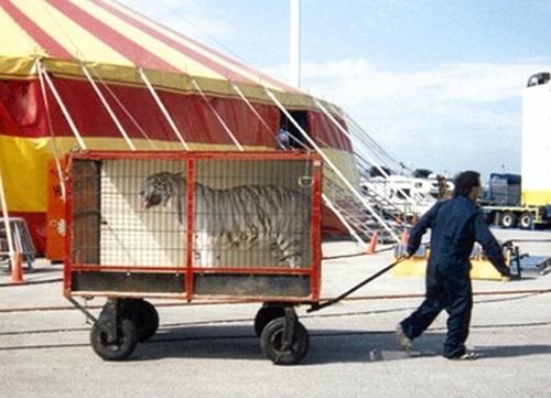 맹수 수레 - 서커스 공연이 끝난 후 공연 동물은 대부분의 시간을 좁은 이동형 철망장에 갇혀 지낸다. ©책공장더불어