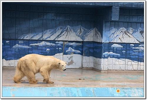 하루 수십 킬러미터를 돌아다녀야 하는 북극곰은 좁은 공간에 갇힌 스트레스로 하루 종일 좁은 공간을 왔다 갔다 한다.