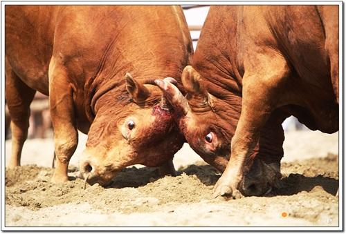 이마에 피가 번져나오는 소싸움을 하는 소들. 소들은 저런 싸움을 즐기지 않는다.