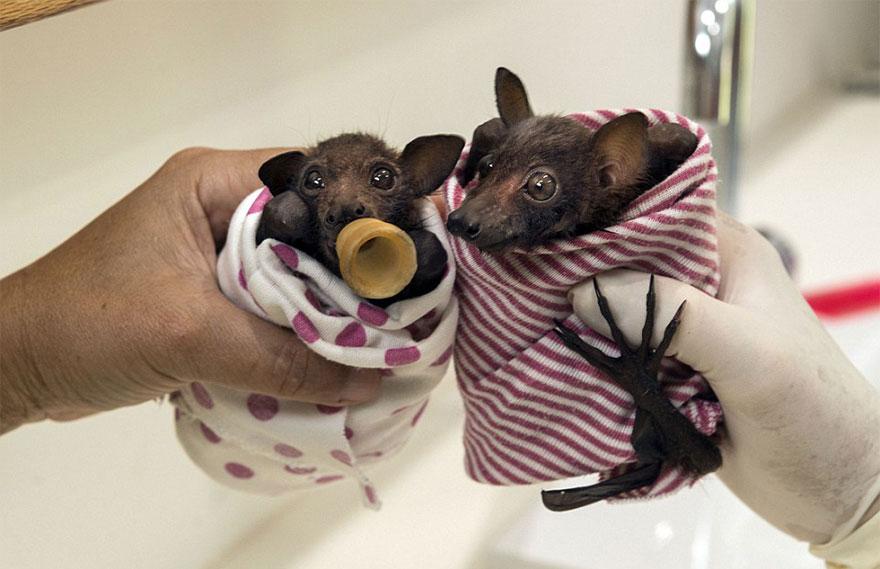 (귀염주의) 새끼 박쥐는 미치도록 사랑스럽다