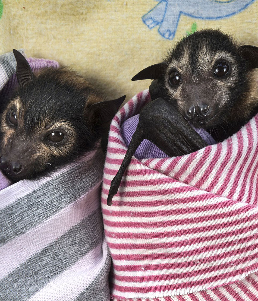 abandoned-baby-bat-pup-tolga-bat-hospital-12