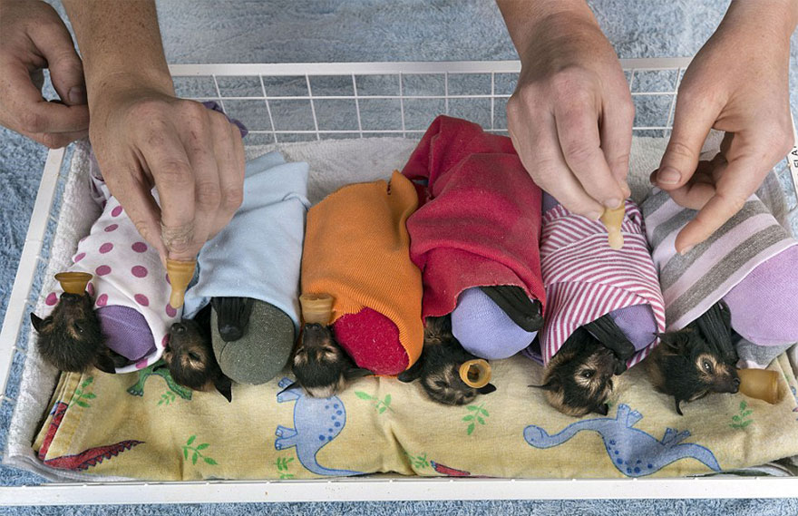 abandoned-baby-bat-pup-tolga-bat-hospital-13