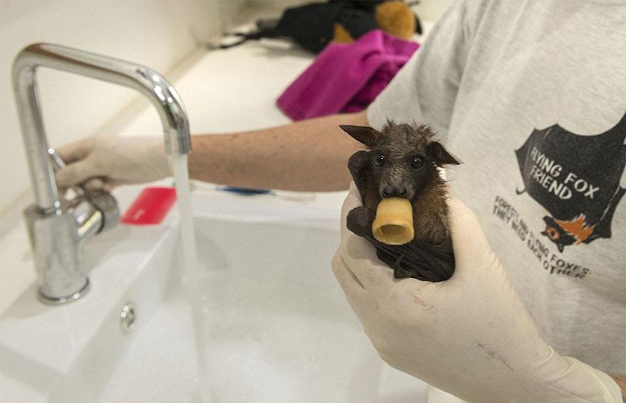 abandoned-baby-bat-pup-tolga-bat-hospital-3