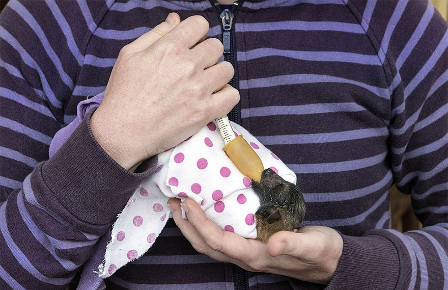 abandoned-baby-bat-pup-tolga-bat-hospital-5