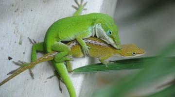 수컷 도마뱀의 성기가 신속하게 진화한 이유