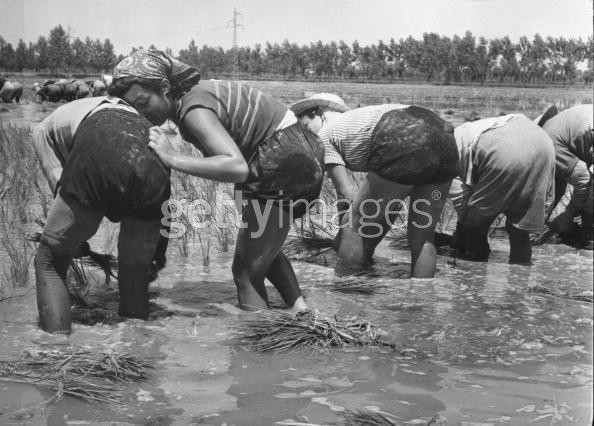 rice_rest_1951_june
