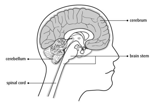 뇌의 구조