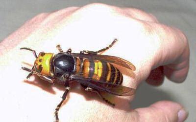 말벌들은 그 크기부터 굉장히 위협적이다.