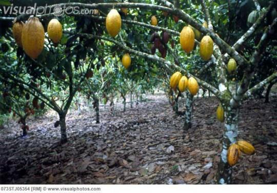 저것이 카카오 나무와 그 열매입니다.