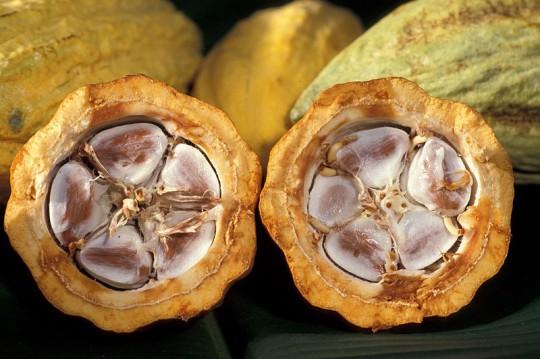 카카오 열매를 쪼개 보면 저렇게 흰 과육 속에 씨가 들어있는데, 그 씨가 바로 카카오 콩입니다. 원래는 저 과육도 먹을 수 있는데, 대개는 그냥 발효 과정에서 자연스럽게 과육을 씻어내 버린다고 합니다.