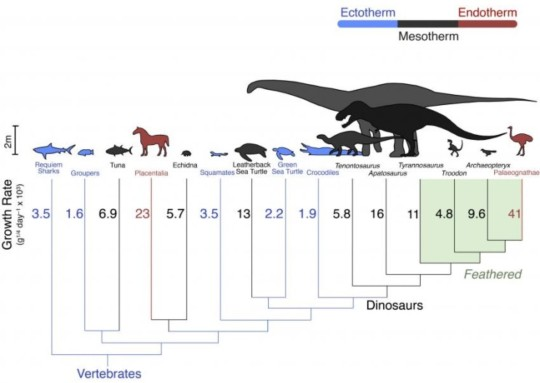(현생, 그리고 멸종한 동물들의 성장 속도 및 항온성 Growth rates across an evolutionary tree. Dinosaurs growth rates fall in between warm blooded mammals and birds ('endotherms') in red, and cold-blooded fish and reptiles ('ectotherms') in blue. They are closest to living mesotherms. Credit: John Grady. ) (Energy use in dinosaurs and other vertebrates. Credit: John Grady)