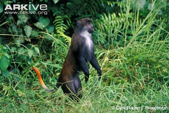 가봉_태양긴꼬리원숭이