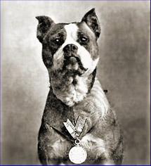 훈장까지 받은 미국의 전쟁 영웅견 핏불 '스터비(Stubby)'