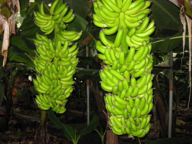 참고로 바나나 나무는 이렇게 생겼다