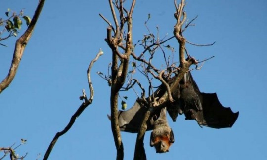 Black-headed flying fox amongst a grey-headed colony. Credit: Michelle Baker CSIRO