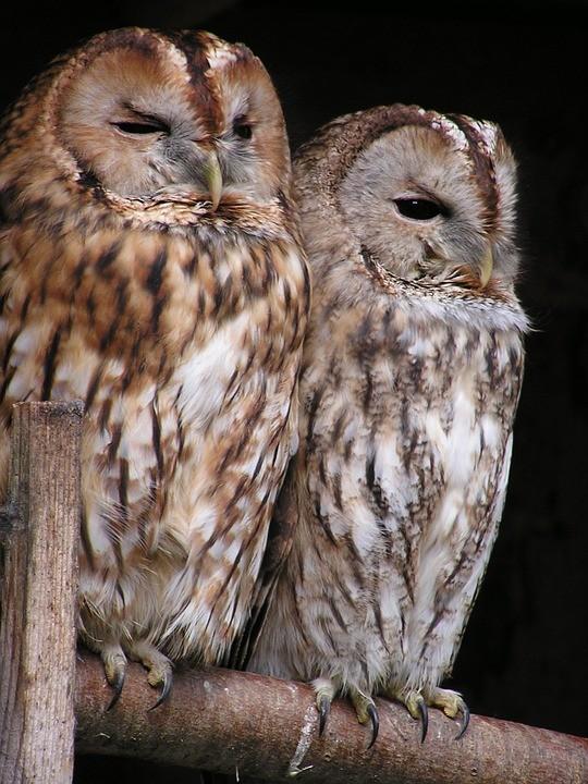 tawny-owl-175969_960_720