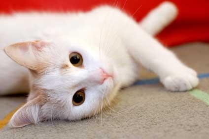 cat-carpet
