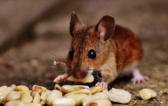 mouse-1733266_960_720