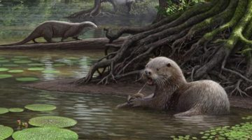 역사상 가장 큰 수달이 발견되다