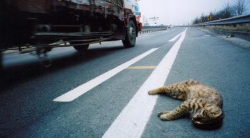 로드킬, 도로 위에서 사라지는 생명들