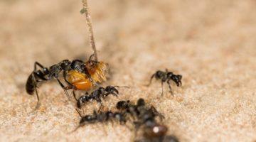 개미도 부상당한 동료를 구해준다?