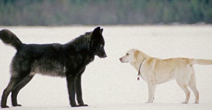 늑대를 닮은 견종들