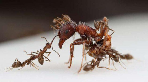 아르헨티나 개미의 지구 정복 비결, 화학 무기