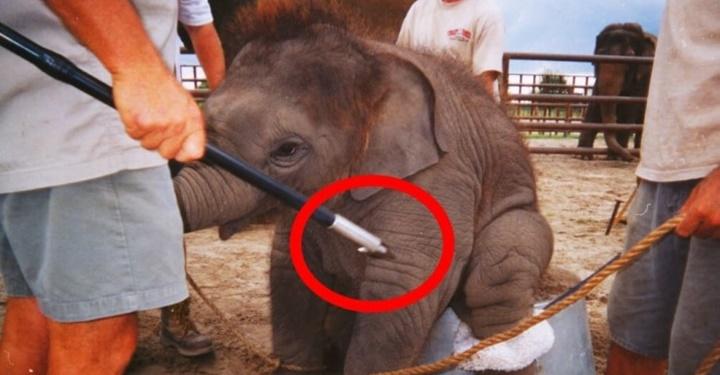코끼리 쇼, 코끼리 트래킹의 비참한 현실: 다시 만나고 싶지 않은 여행