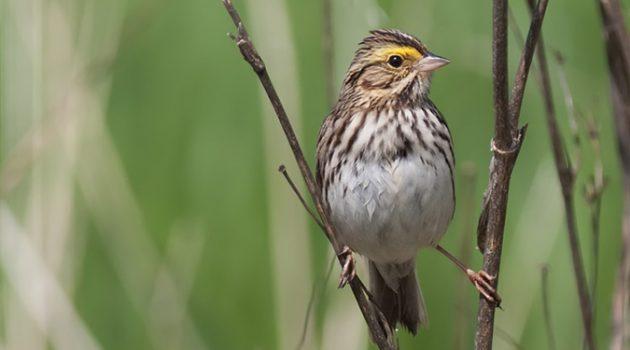 짝짓기 철 맞은 새가 구애하는 노래 톤을 바꾼 이유