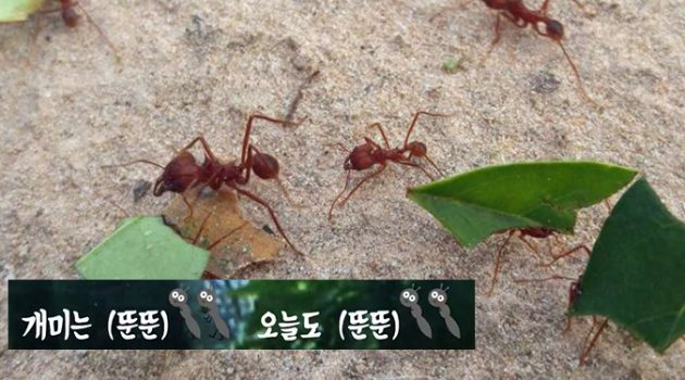 곰팡이를 재배하는 가위개미