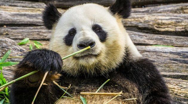 선사시대 유럽에는 초식 곰이 살았다