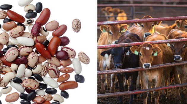 모두가 식단에서 소고기를 콩으로 바꾼다면