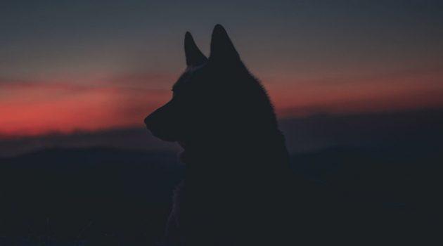 개와 늑대를 구별하실 수 있나요?