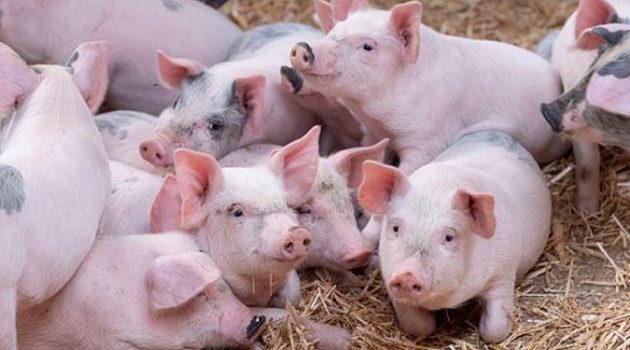 국가적 재난: 아프리카 돼지 열병