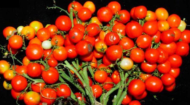 유전 공학으로 탄생한 도심형 미니 토마토