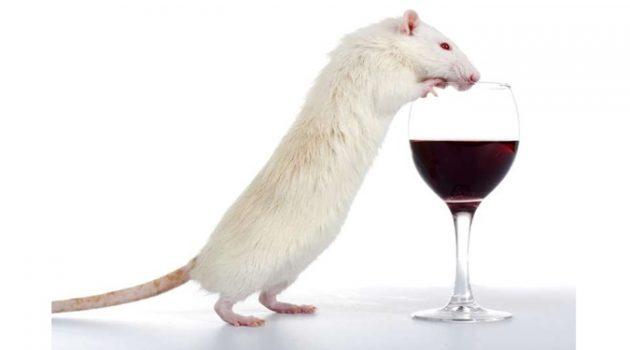 '술 마신 쥐' 실험으로 폭음과 관련된 뇌 경로를 찾다